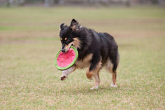 Playful game of fetch Royalty Free Stock Photo
