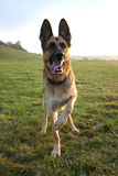 Playful German Shepherd. German shepherd waiting to play stock images