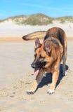 Playful German Shepherd Dog on Beach Stock Images