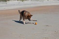 Playful German Shepherd Dog on Beach Stock Image