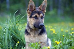 Playful German Shepherd puppy Stock Images
