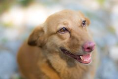 Playful ginger dog. Cute playful dog waiting for attention Stock Images
