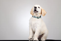 Playful golden labrador Royalty Free Stock Photo