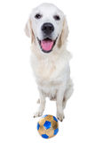 Playful golden retriever puppy with ball. Isoalted Royalty Free Stock Image