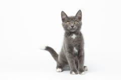 Free Playful Gray Kitty On White Background Stock Photos - 54394083