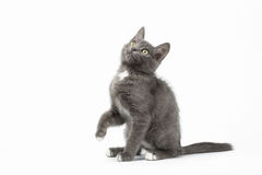 Free Playful Gray Kitty On White Background Royalty Free Stock Photography - 54394087