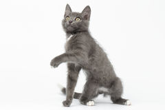 Playful Gray Kitty Raising Paw and Looking up on White Stock Images