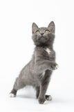 Playful Gray Kitty Raising Paw and Looking up on White Stock Image