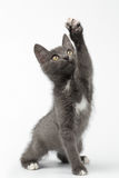 Playful Gray Kitty Raising Paw and Looking up on White Royalty Free Stock Photos