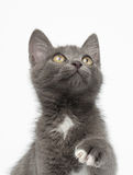 Playful Gray Kitty Raising Paw and Looking up on White Stock Photo