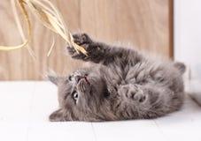 Playful gray Kurilian Bobtail kitten stock images