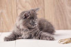 Playful gray Kurilian Bobtail kitten stock photos