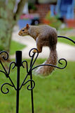 Playful gray squirrel hanging around. Royalty Free Stock Photography