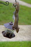 Playful gray squirrel hanging around. Stock Photos
