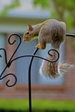 Playful gray squirrel hanging around. Royalty Free Stock Photos