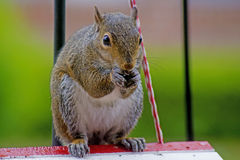 Playful gray squirrel sitting on a bird houe. Stock Images