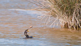 A playful Great Cormorant Stock Image