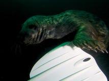 Playful grey seal Stock Photos