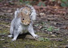A playful Grey Squirrel ready to pounce. A playful grey squirrel which looks like it is ready to pounce or run off Royalty Free Stock Photos