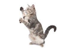 Playful grey striped cat. On white background royalty free stock images