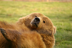 Playful Grizzly Stock Photography