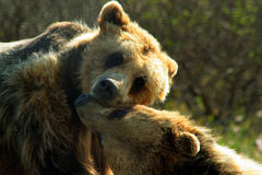 Playful grizzly bears in Alaska. A pair of affectionate grizzly bears playing and nuzzling in Alaska Stock Photography