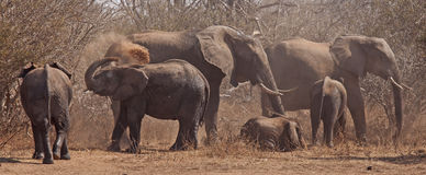Playful happy Elephant family. The Elephants family are playing in the dust around the waterhgole. Photographed at one of the national parks in Southern Africa stock images