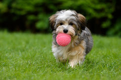 Playful havanese puppy brings a pink ball in the grass. Playful havanese puppy dog brings a pink ball towards the camera in the grass royalty free stock photography