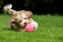 Playful havanese puppy chasing a pink ball. Playful havanese puppy dog chasing a pink ball in the grass stock photography