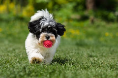 Playful havanese puppy running towards the camera with a ball Royalty Free Stock Photos