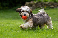 Playful havanese puppy walking with his ball. Playful havanese puppy dog walking with a red ball in his mouth in the grass and looking at camera royalty free stock images