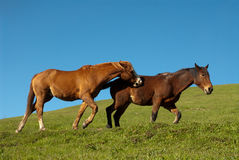Playful Horses Stock Images