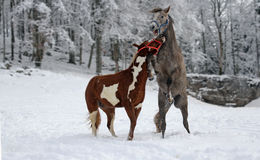Playful horses. Pair of horses showing love and playing in the winter Royalty Free Stock Images