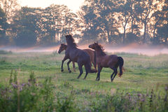 Playful horses on pasture at sunrise Royalty Free Stock Images