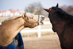 The playful horses Stock Image