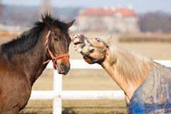 The playful horses Royalty Free Stock Images