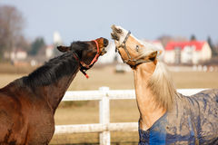 The playful horses Royalty Free Stock Photography