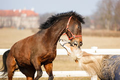 The playful horses Stock Images