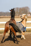 The playful horses Royalty Free Stock Image