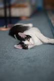 Playful housecat Royalty Free Stock Photography