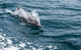 Playful humpback dolphins in a coastal waters of Musandam Oman Stock Photos