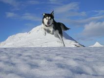Playful Husky stock photo