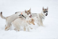 Playful husky puppies Stock Image
