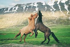 Playful icelandic horses stock photo