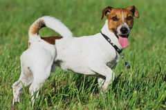 Playful Jack Russel terrier stands on the grass. Stock Photography