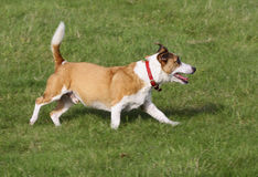 Playful jack russell Stock Photo