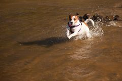Playful Jack Russell Terrier Dog Playing in Water Stock Photos