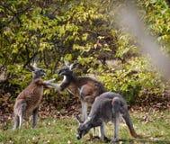 Playful Kangaroos Stock Image