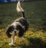 Playful King Charles, our pet dog. Royalty Free Stock Images