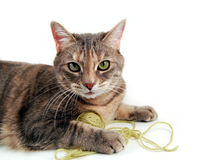 Playful Kitten. Small kitten playing with a ball of yarn on a white background stock photos